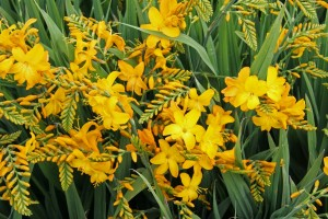 FD2221 Crocosmia Walberton Yellow (p)