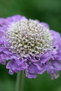 FD2898 Scabious Butterfly Blue close up