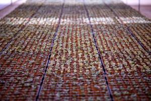 Sedum Rose Carpet plugs