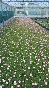 Springfield No.3 Argyranthemum