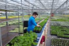 Readying herbs for despatch to Garden Centres around the country from Binsted, Lake Lane site