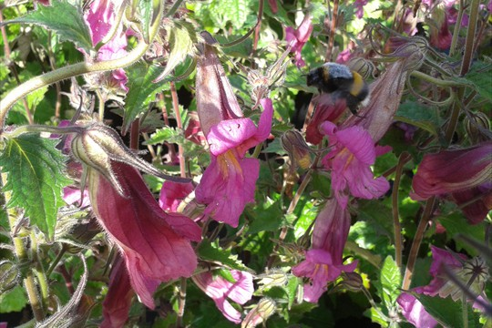 A bee coming in to land on Rehmannia 'Magic Dragon' pre-launch