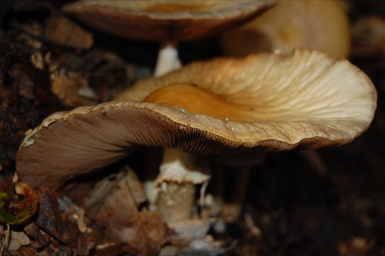 Fungi thrive in shredded wood piles