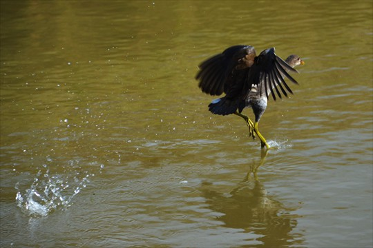A moorhen takes flight on the lagoon