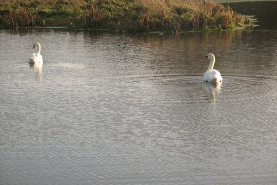 Swans were quick to move into Binsted's water meadow