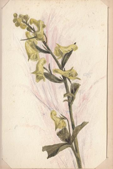 Ruth Mary Tristram, 1900-1914, Aconitum lycoctonum