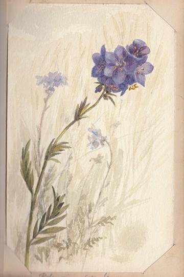 Ruth Mary Tristram, 1900-1914, polemonium caeruleum