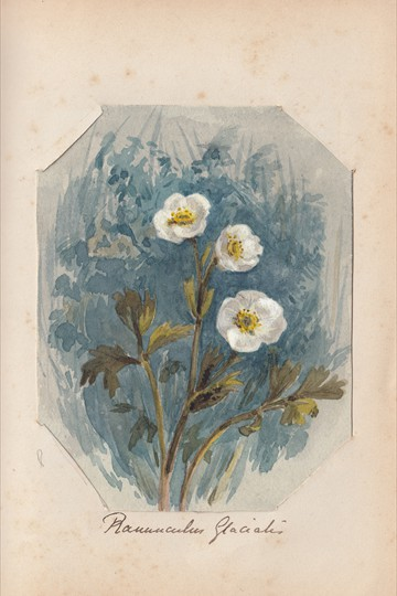 Ruth Mary Tristram, 1900-1914, ranunculus glacialis