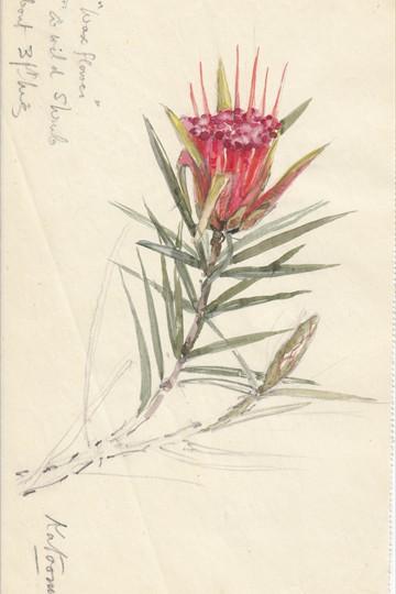 Wax flower a wild shrub - Katoomba