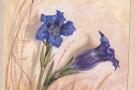 Ruth Mary Tristram, 1900-1914, gentiana clusii