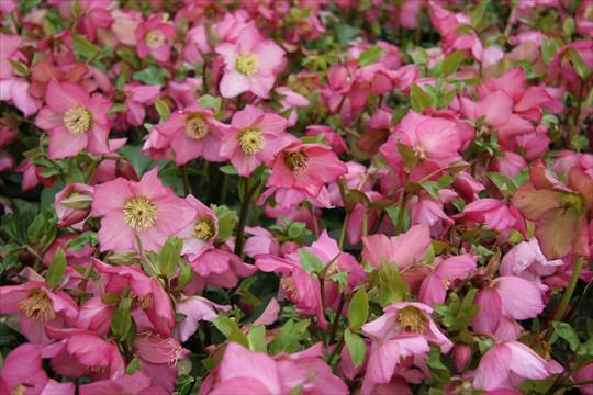 Helleborus 'Rosemary'