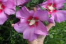 Hibiscus Walberton's® Rose Moon