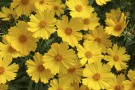 Coreopsis 'Flying Saucers'