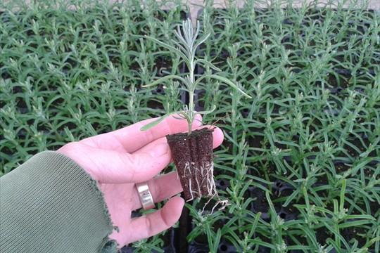 Rooted lavender plug