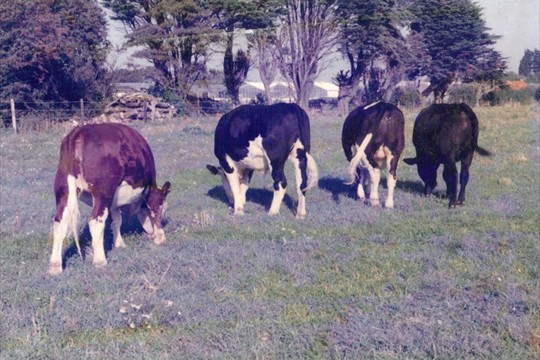 Cows grazing on land bought from Langmeads, 1983