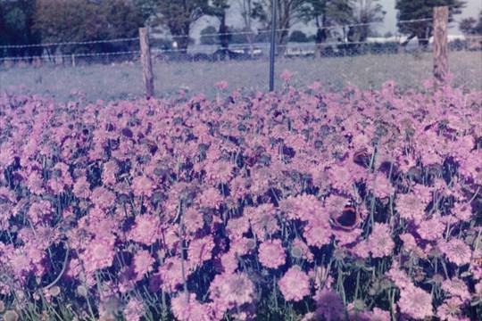 Scabious growing on land bought from Langmeads, 1985