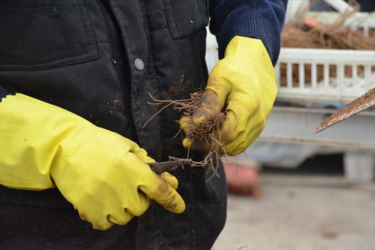 Bare root Dicentra getting trimmed prior to potting