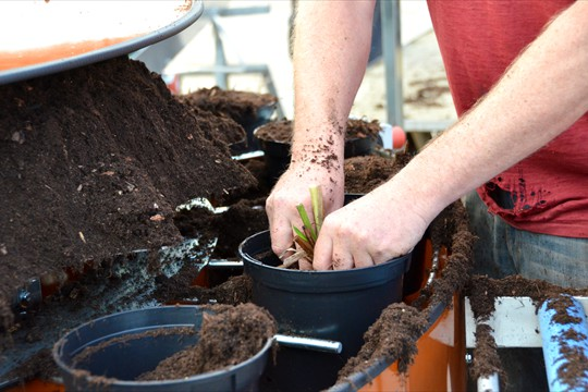 Potting Crocosmia bulbs on the new potting machine