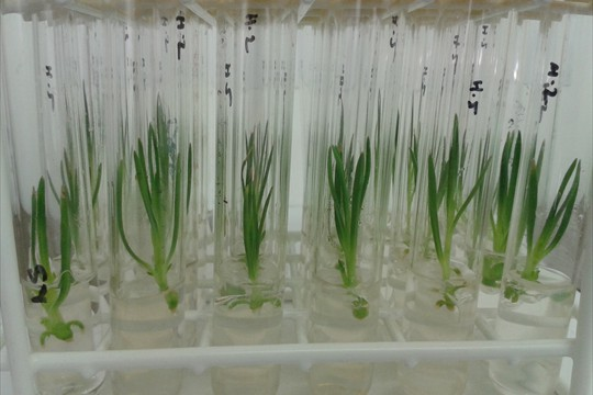 Sisyrinchium Rocky Point initiations in test tubes
