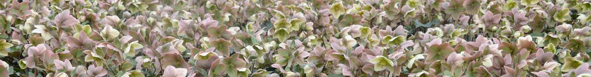 Tristram Plants