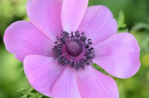Anemone De Caen Pink