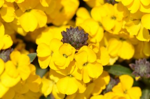 Erysimum Fragrant Sunshine