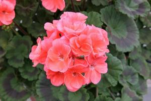 Upright geranium Soren (Salmon)