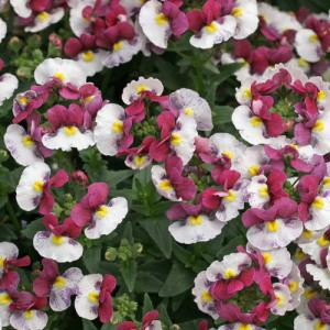Nemesia Raspberries & Cream