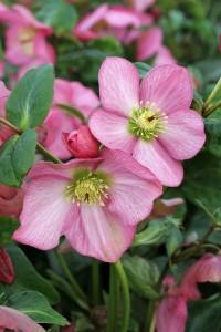 Helleborus Rosemary