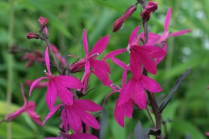 Lobelia Russian Princess