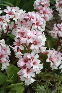 Bergenia Apple Blossom