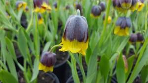 Fritillaria Michailovskii