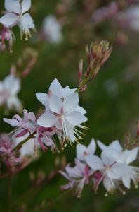 Gaura Snow Fountain