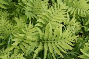 Onoclea sensibilis Sensitive Fern
