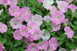 Petunia Surfinia Table Soft Pink