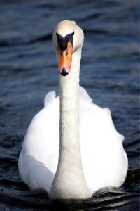 Swan resident on Binsted Nursery reservoir