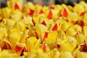 Tulip Stressa