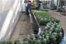Despatching herbs at Binsted, Lake Lane site