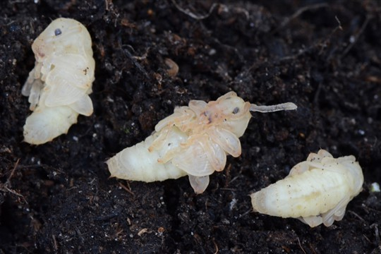 Biological controls are used to combat a range of pests including vine weevil