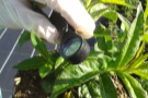 The Crop Protection Team use hand lenses to inspect crops for pests and diseases