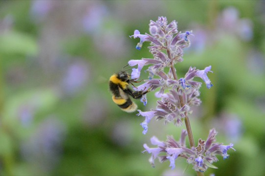 Bees swarm onto Nepeta Summer Magic