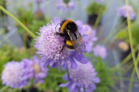 Scabious are very popular with bees