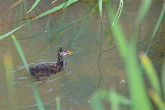 A juvenile moorhen among the bulrushes