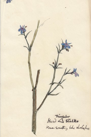 Feb 15th 1900 - triangular hand stalks possibly lobelia