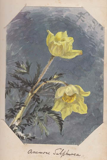 Ruth Mary Tristram, 1900-1914, anemone sulphurea