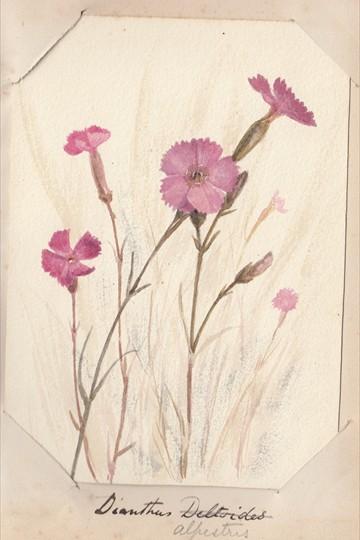 Ruth Mary Tristram, 1900-1914, Dianthus alpinus