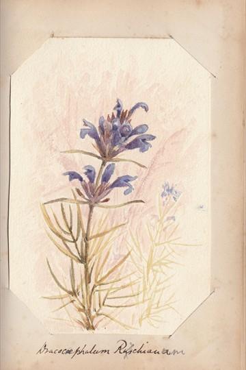 Ruth Mary Tristram, 1900-1914, dracocephalum ruyschiana