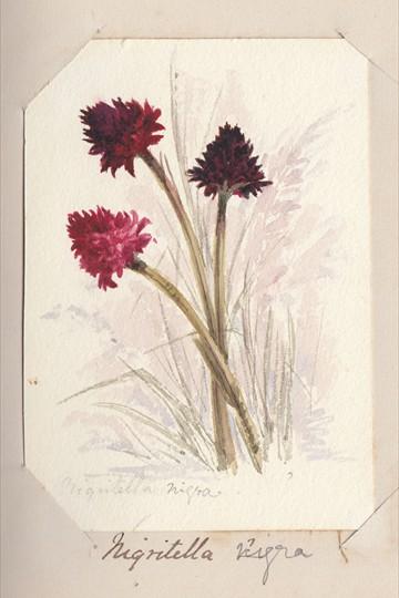 Ruth Mary Tristram, 1900-1914, niqritella nigra