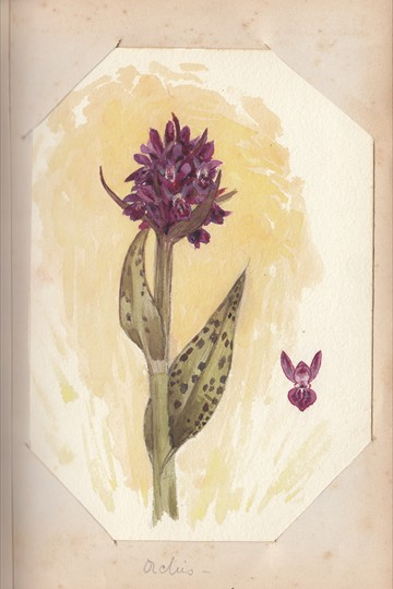 Ruth Mary Tristram, 1900-1914, Orchis
