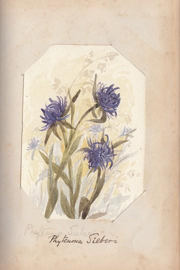 Ruth Mary Tristram, 1900-1914, Phyteuma sieberi